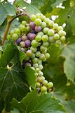 Grapes in Vine