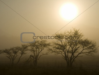 Three Trees with Sun