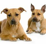 two American Staffordshire terrier