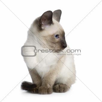 Kitten Siamese
