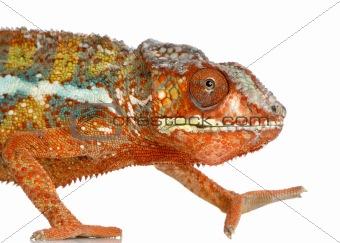 Chameleon Furcifer Pardalis