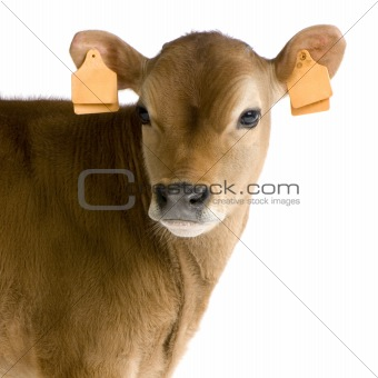 Calf (45 days)