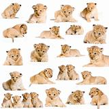 20 Lion Cubs