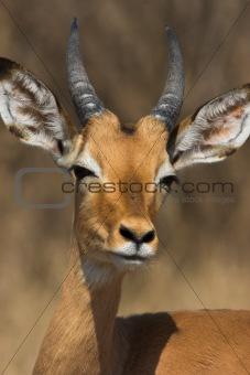 Impala Male