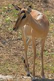 Impala Female