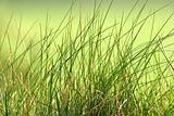 Long Grass