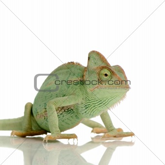 Yemen Chameleon - chamaeleo calyptratus