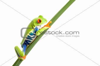 frog on leaf isolated white
