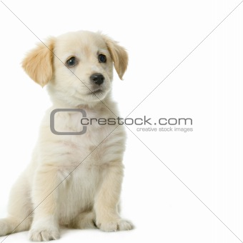 Puppy Labrador retriever cream