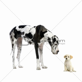 Great Dane HARLEQUIN and puppy Labrador