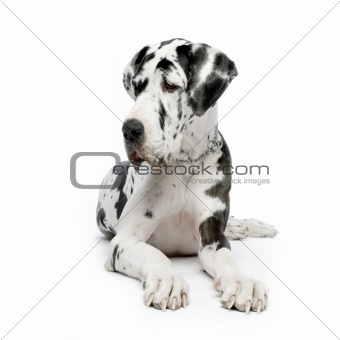 Image Description: Great Dane HARLEQUIN sitting In front of white ...