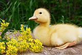 Small duck and yellow flowers in the afternoon