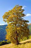 tree in autumn mountain