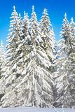 Misty winter fir forest view