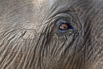 Close-up elephant eye.