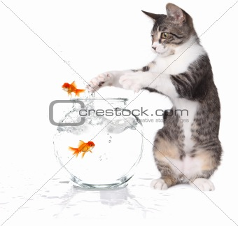 Cat Trying to Catch Jumping Goldfish
