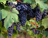 Black grapes and leaves