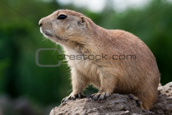 Prarie dog looking sitting of the ground