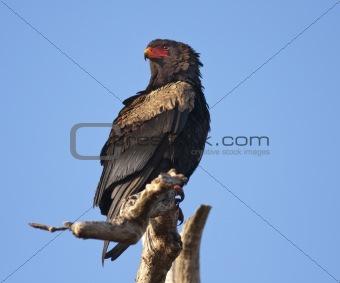 Bateleur - South African Eagle