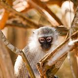 Vervet Monkey Watching Me