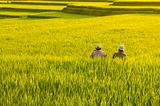 Terrace rice fields.