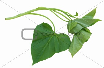 Potato Leaf