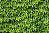 Boston ivy background