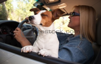 Jack Russell Terrier Dog Enjoying a Car Ride.