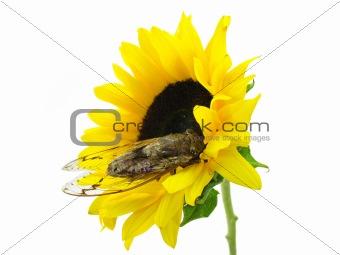Cicada and Sunflower