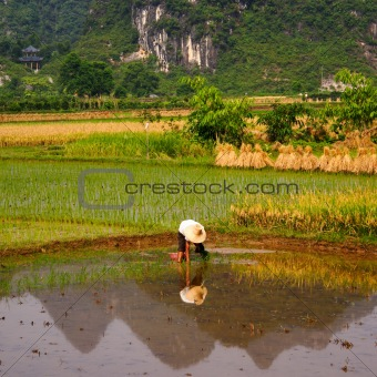 Rice Field Work