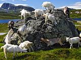 Goats in Norway