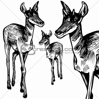 Antelope - black and white