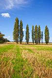 poplar trees in a sunny field