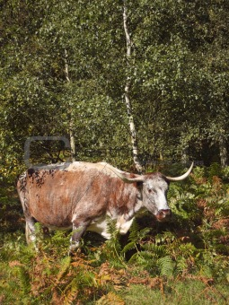 english long horn cow