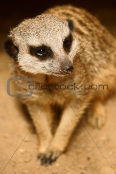 Slender-tailed Meercat