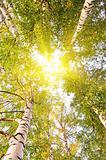 tree crowns on sunlight blue sky