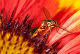Fly collecting pollen from a flower