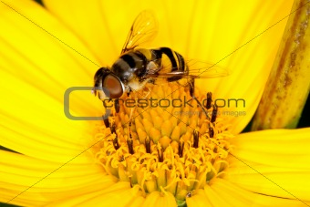 A fly collecting pollen from a yellow flower