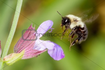 A honeybee hovering over a flower collecting pollen