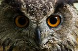 Eagle owl  with big orange eyes