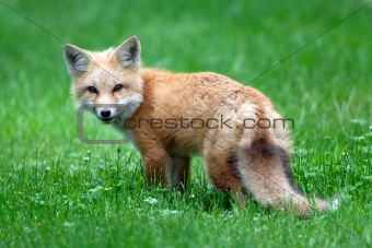 Baby Red Fox (Kit)