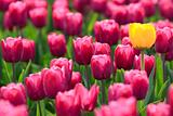 Violet tulips and yellow one