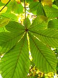 autumn leaves of a chestnut