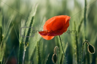 One red poppy close-up among cereals