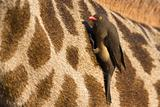 Red billed oxpecker on giraffe