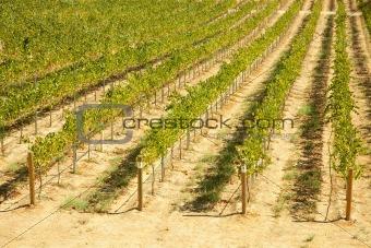 Beautiful Wine Vineyard in California, United States.