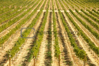Beautiful Wine Vineyard in California, United States.