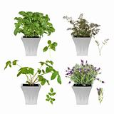 Herb Selection in Pots