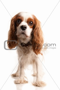 King Charles terrier