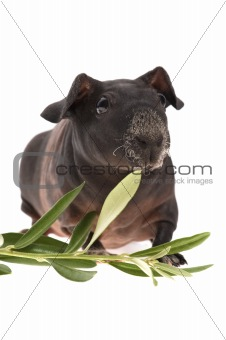 skinny guinea pig and olive branch on white background